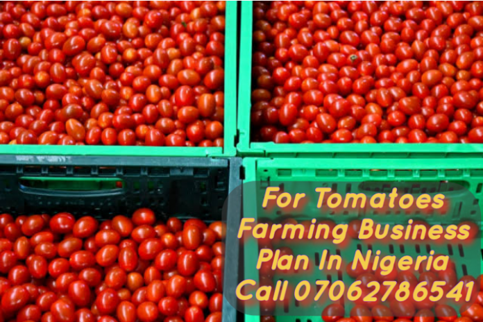 Tomatoes Farming Business In Nigeria